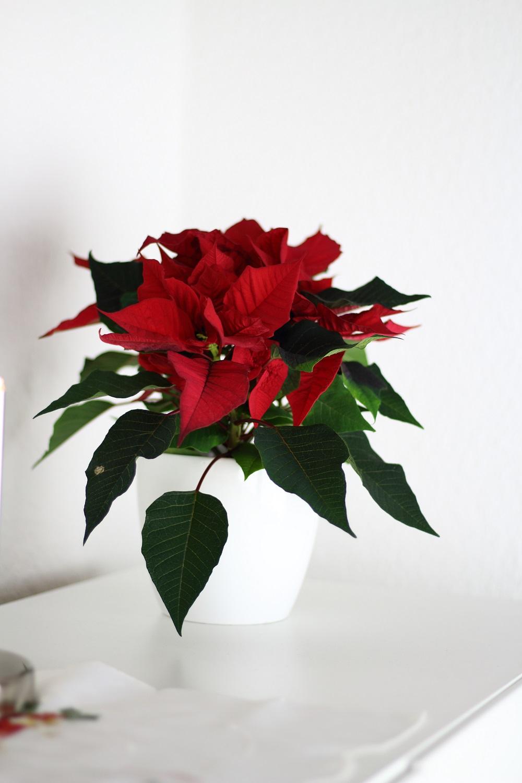 [Anzeige] Die passende Weihnachtsdekoration für gemütliche Adventsstimmung - Weihnachtsstern