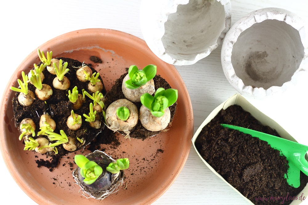 Frühlingsblumenzwiebeln einpflanzen